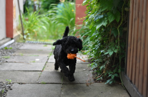 Poodle mix running with his toy
