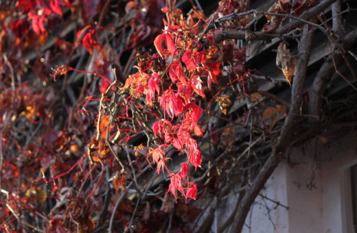 Red leaves of boston ivy