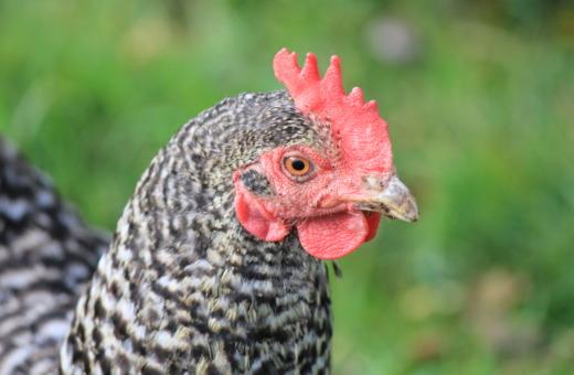 Maran chicken