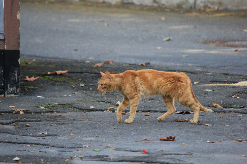 Straying cat