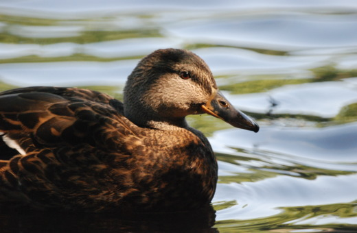 Swimming duck in dappled shade
