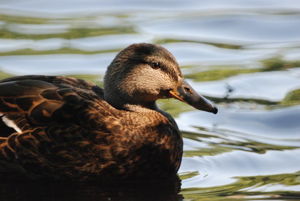 Swimming duck in dappled shade