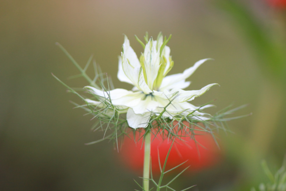 White thistle in detail