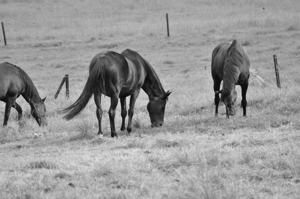 Black horses grazing