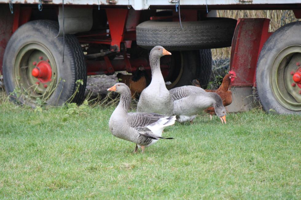 Three gray goose