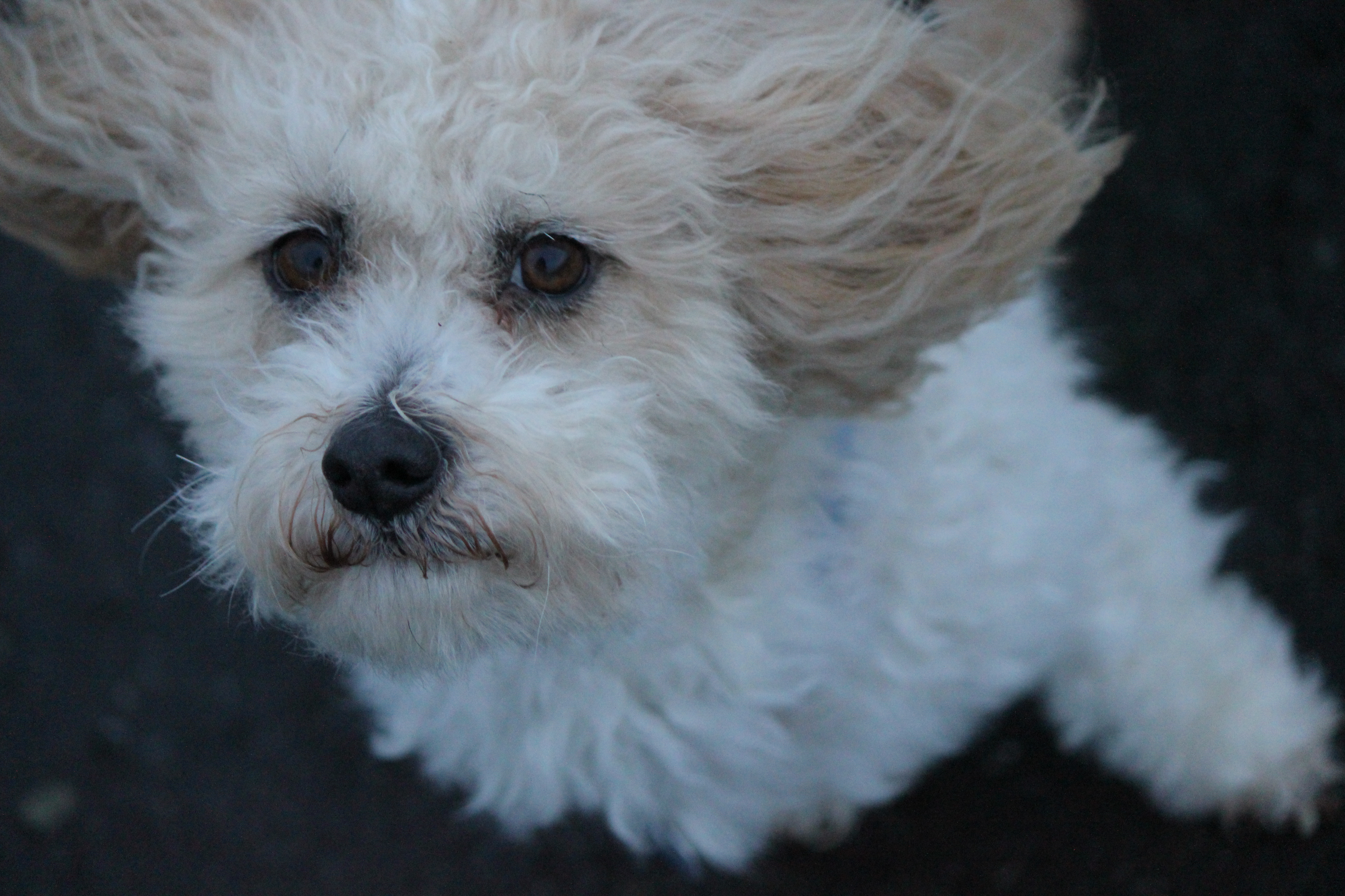 White Poodle In The Wind Cc0 Photo