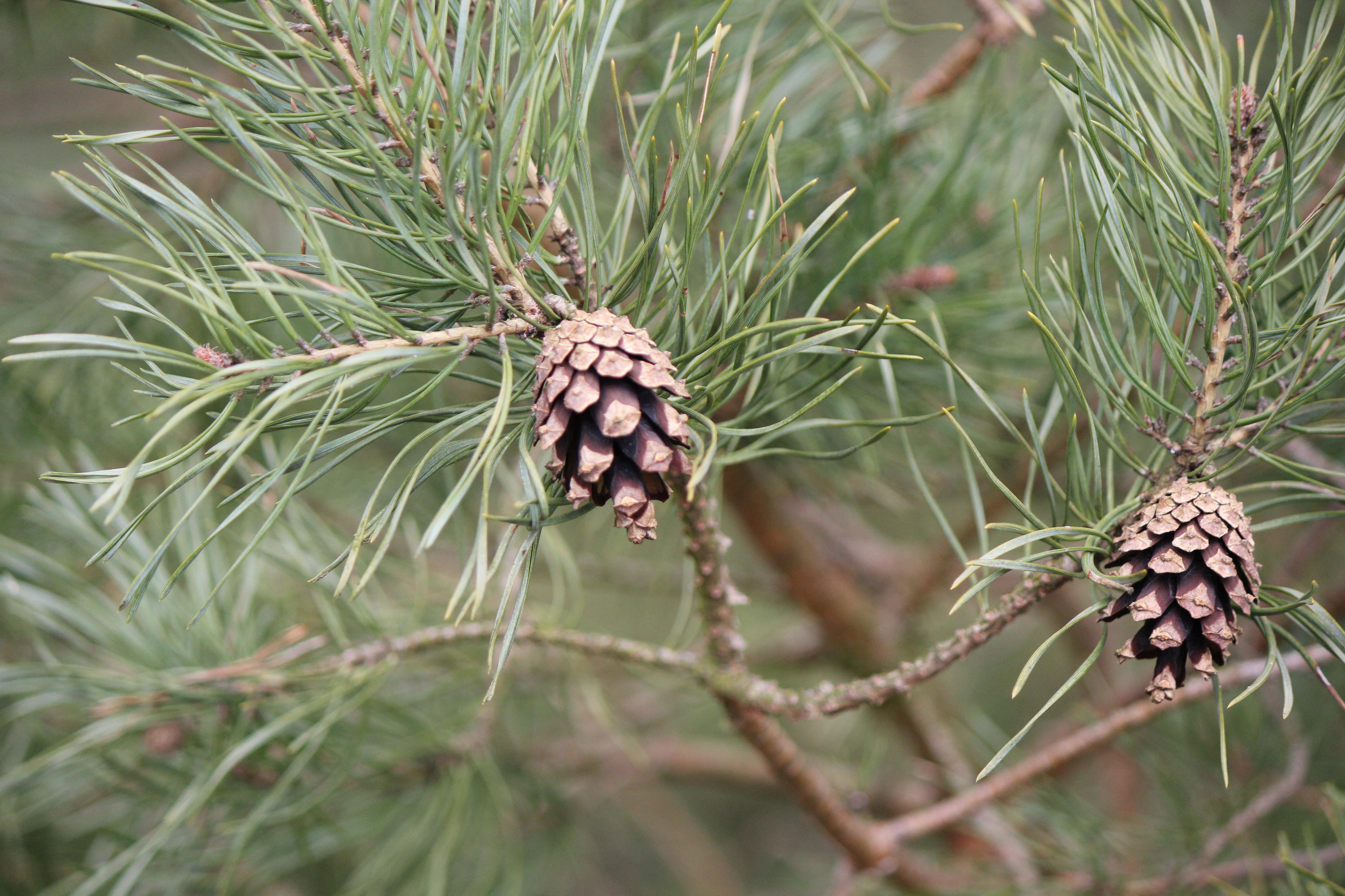 Pine Cones Cc0 Photo