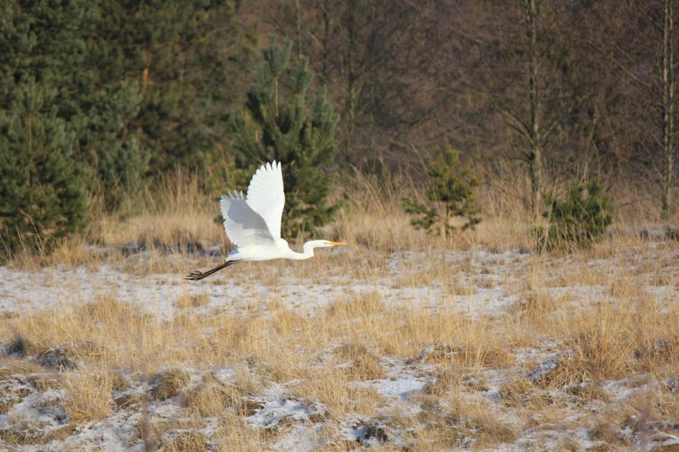 Flying white heron