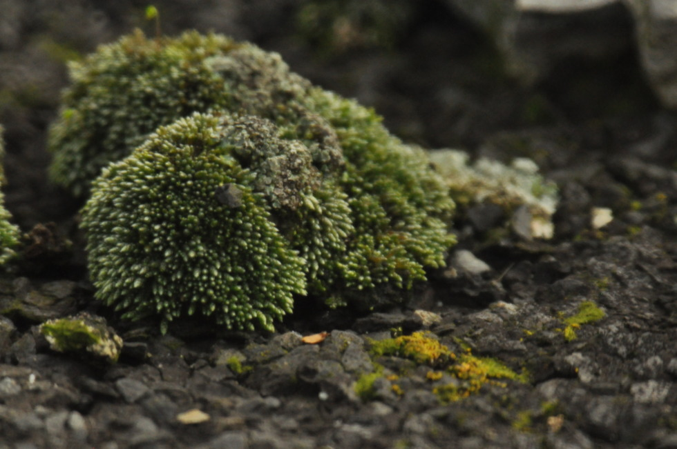 Green moss on on roofing felt in detail