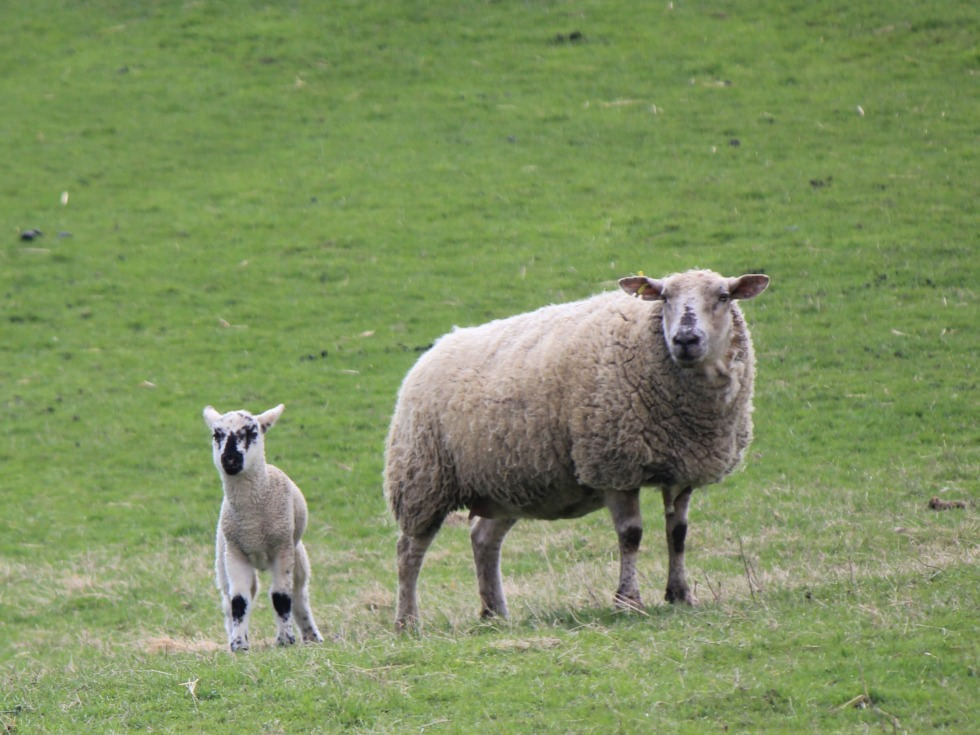 Sheep mother and little lamb