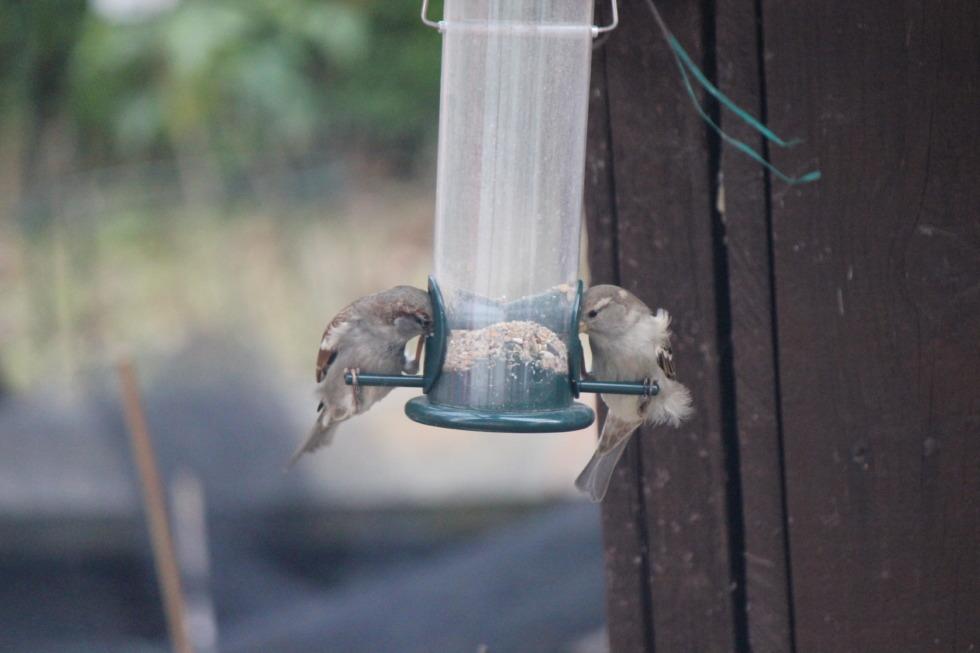 Sparrows eating birdseed