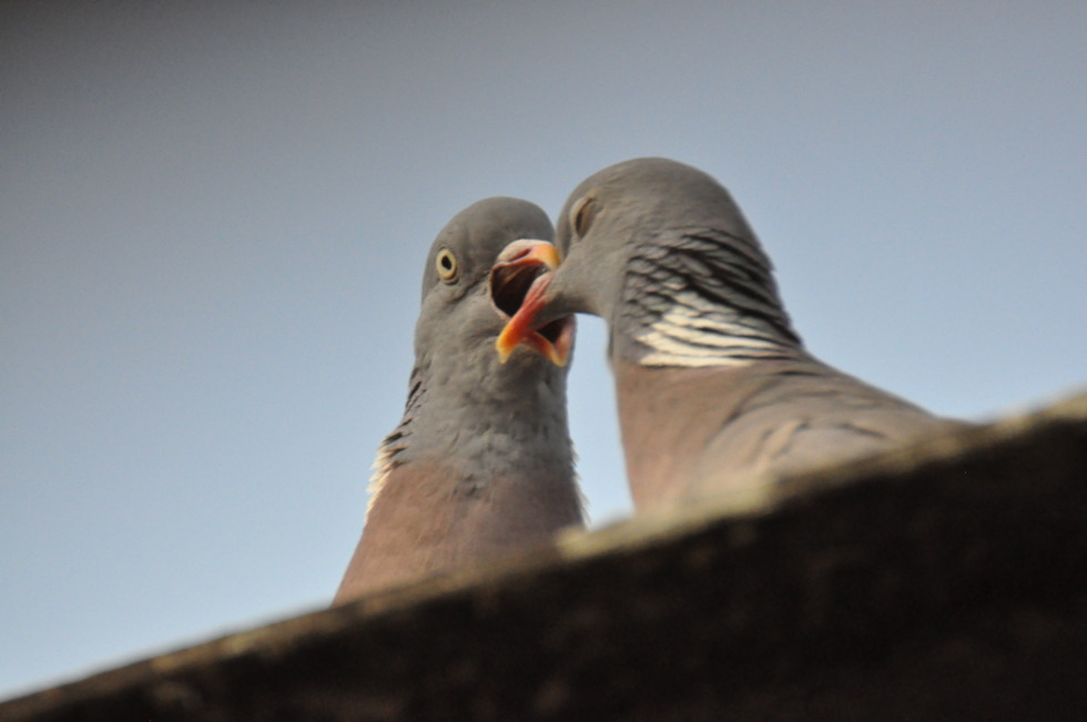 Kissing pidgeons No.2