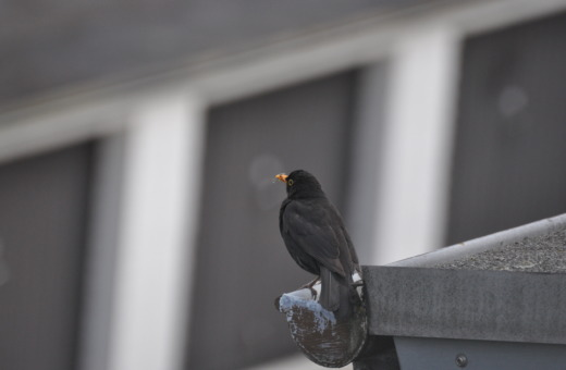 Blackbird on the gutter No.3