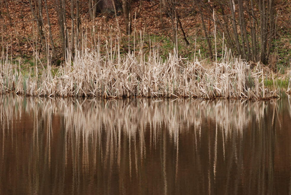 Reed reflecting in small lake