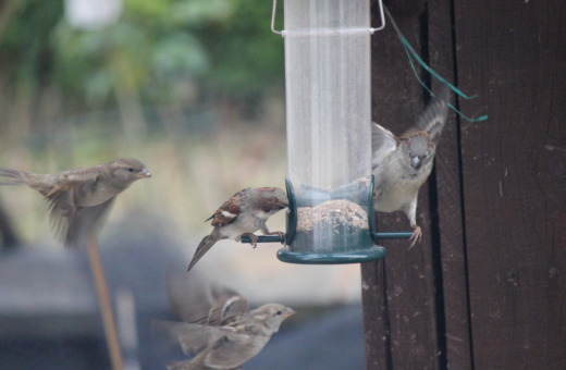 Sparrows fly around food dispenser