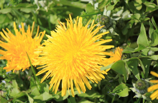 Two yellow dandelions