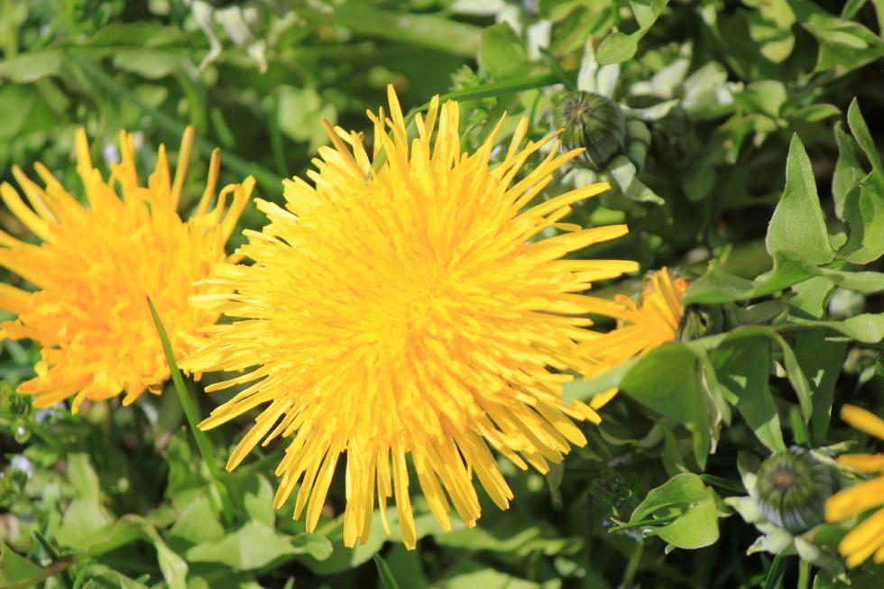 Two yellow dandelions