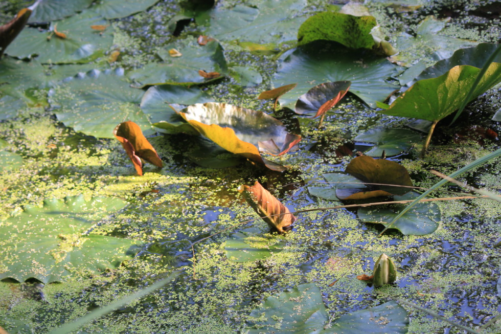 Water lilies and algas