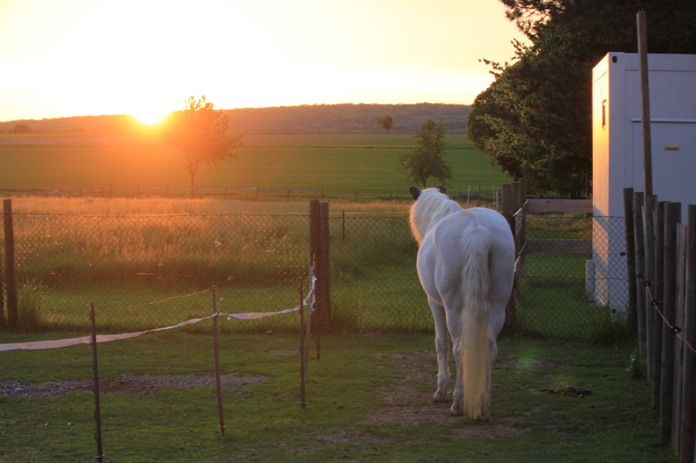 White horse looking into the sundown