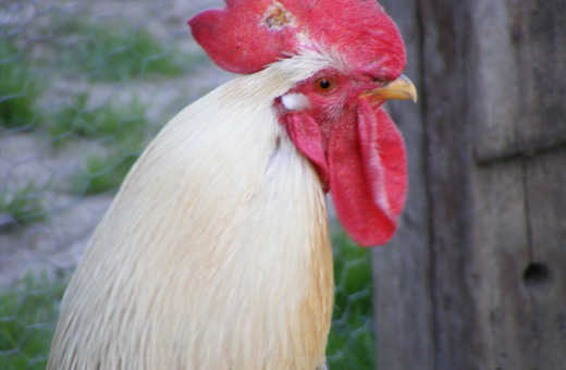 White rooster's head