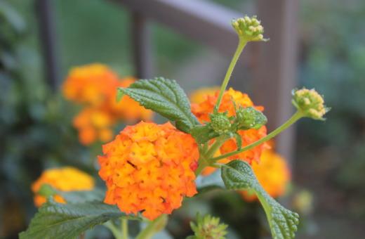 Yellow and orange lantana
