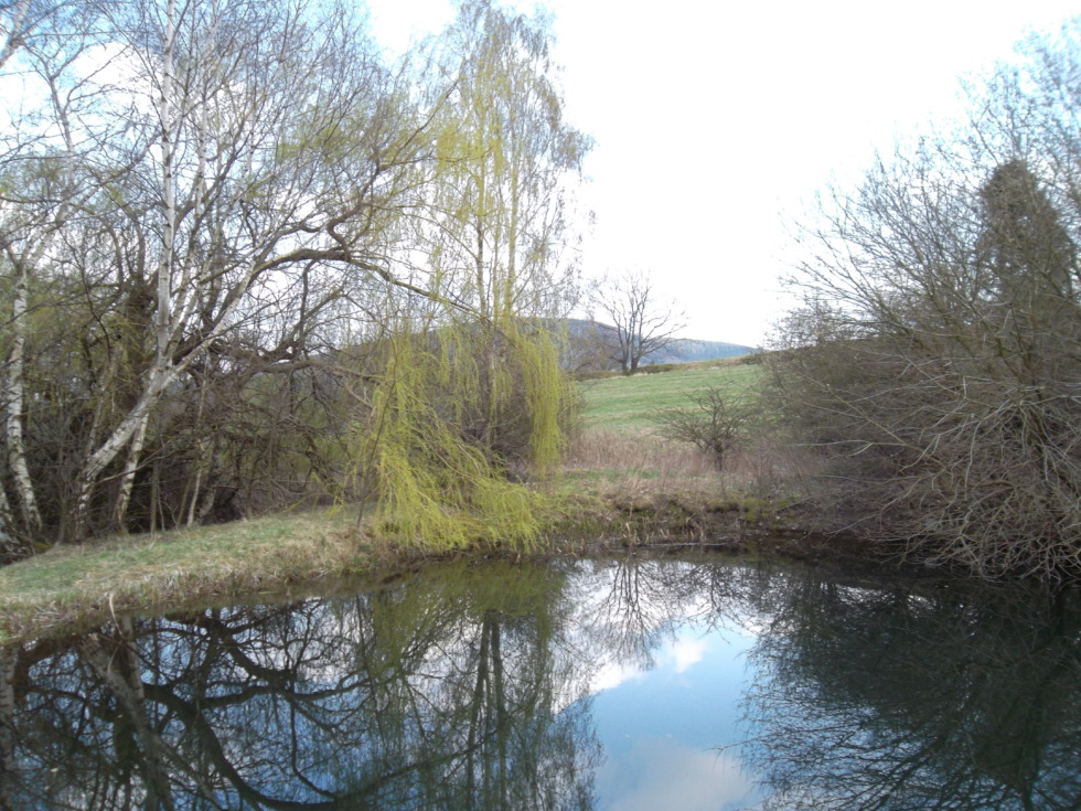 Birch and Willows besides a pond