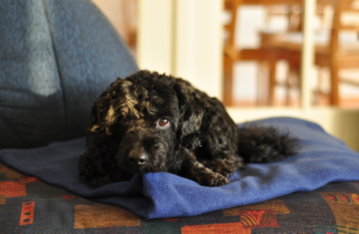 Black dog dozing on a blanket