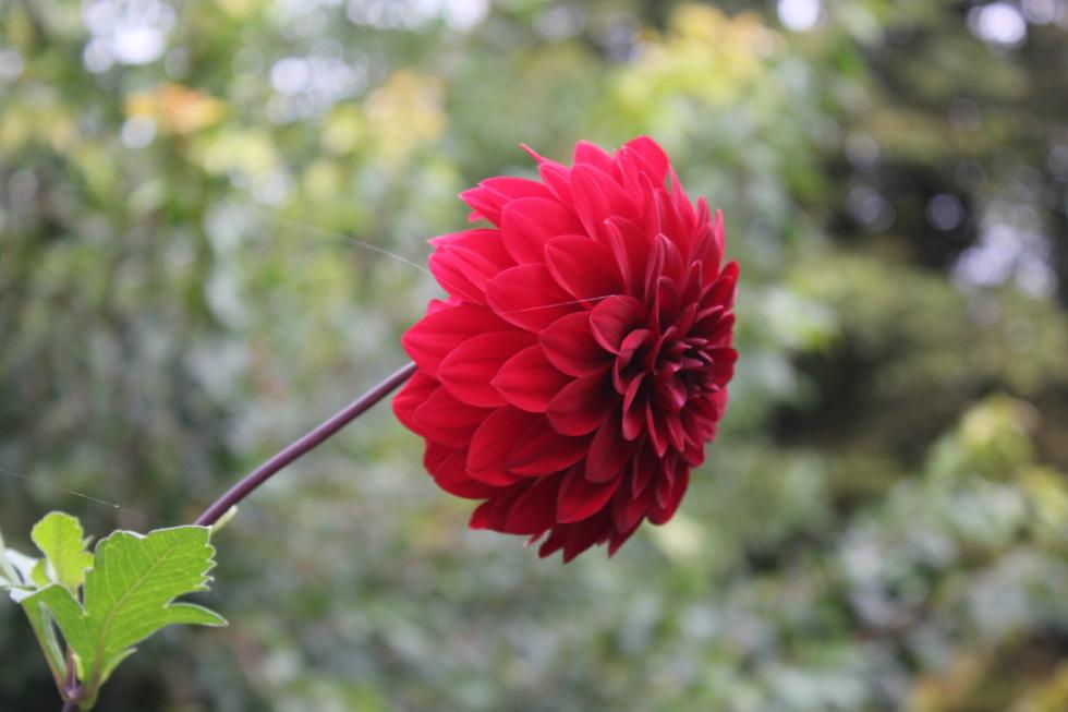 Single red zinnia blossom