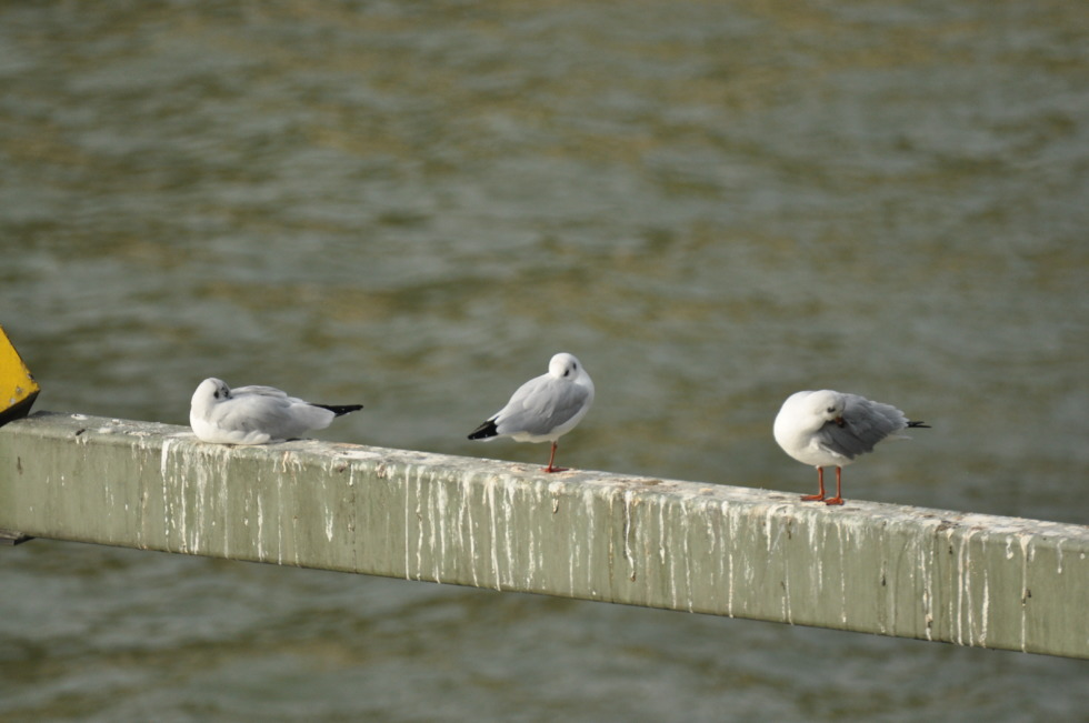 Three seagulls on a beam over the Rhine river