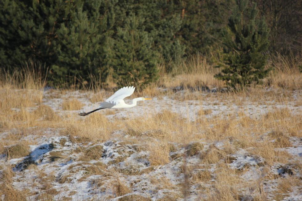 White heron gliding through the air