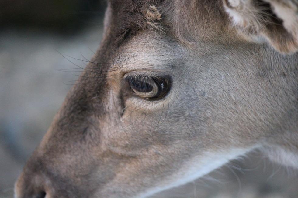 A deer's head in detail