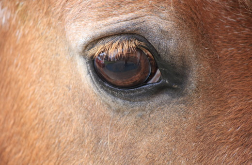Horse' eye in detail