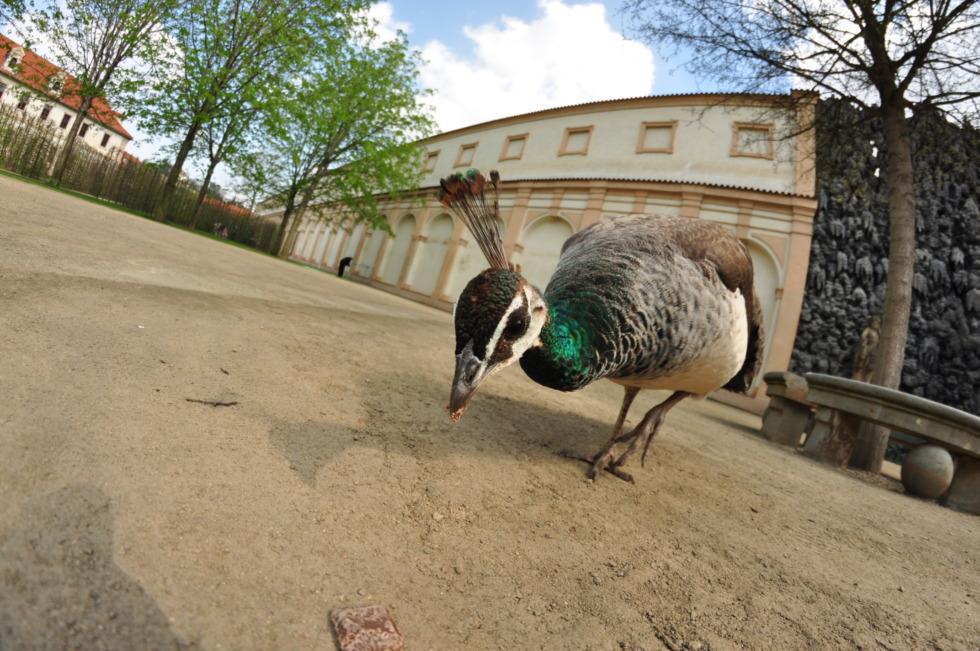 Peacock eating in Prague