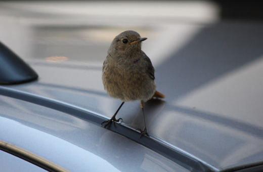 Sparrow on a car