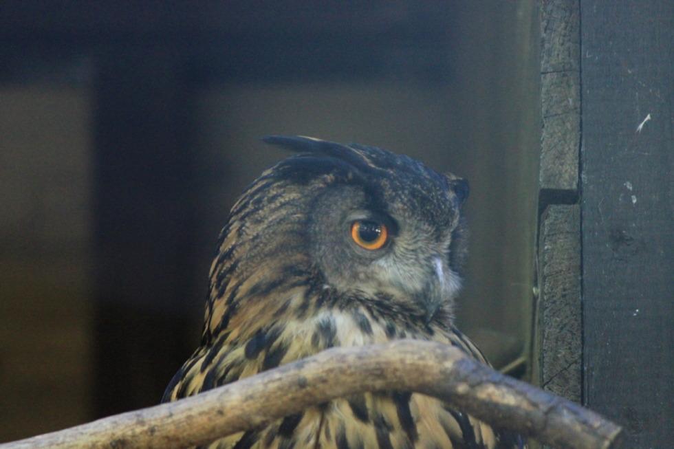 Grumpy eagle owl