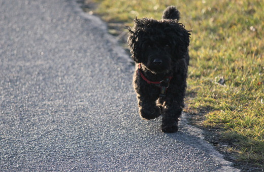 Black poodle mix on the road