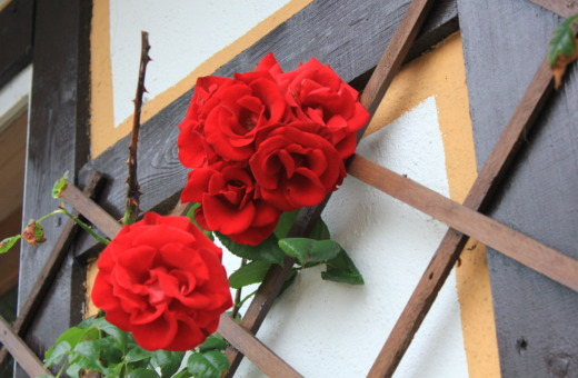Red climbing roses on grid