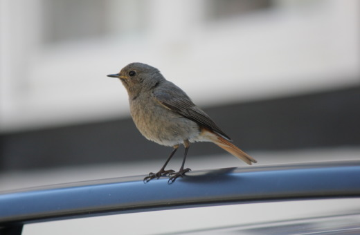 Sparrow sitting on a car's roof rail