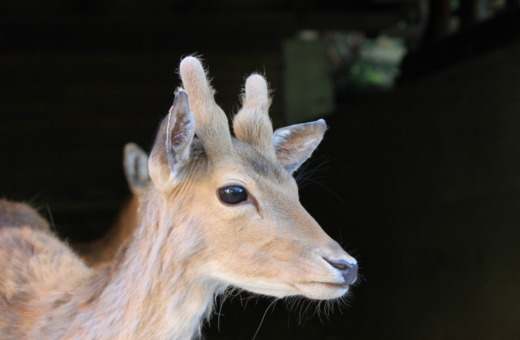 Young deer portrait