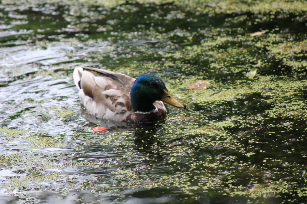 Mallard swimming in duckweed