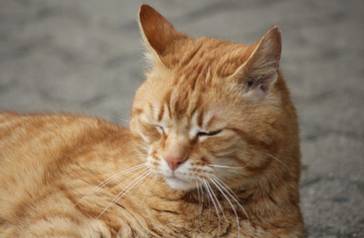 Portrait of orange cat