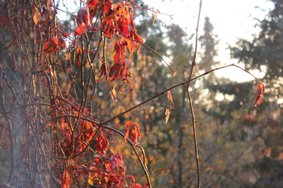 Red leaves in autumn sun