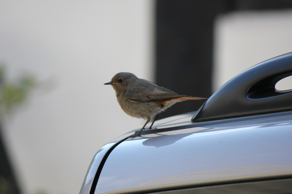 Sparrow sitting on a car