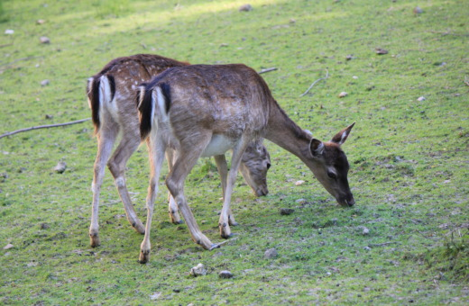 Two fawns on a meadow