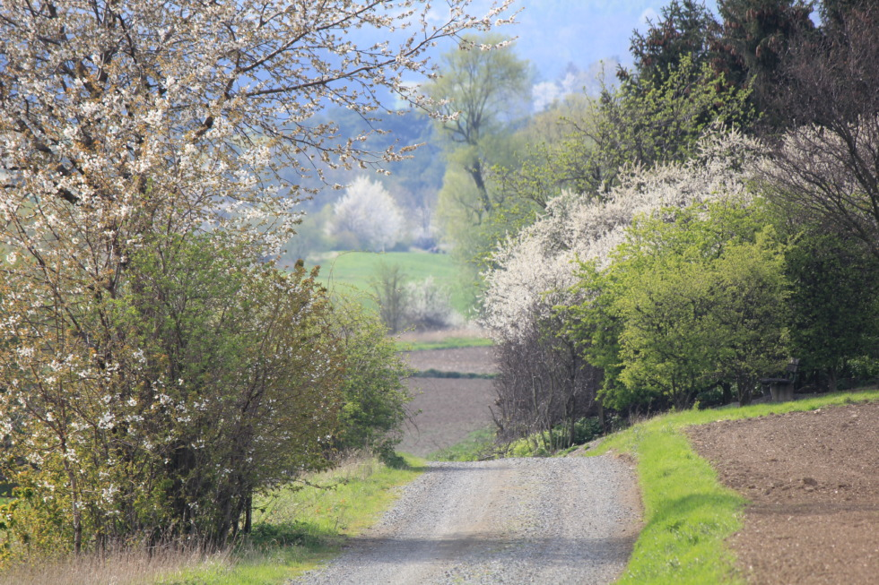 Path between blooming trees