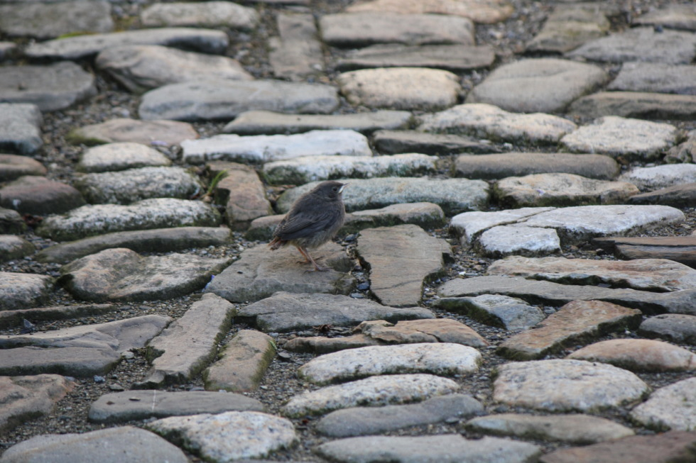 Sparrow on cobblestone