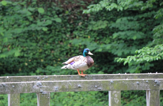 Wild duck on railing