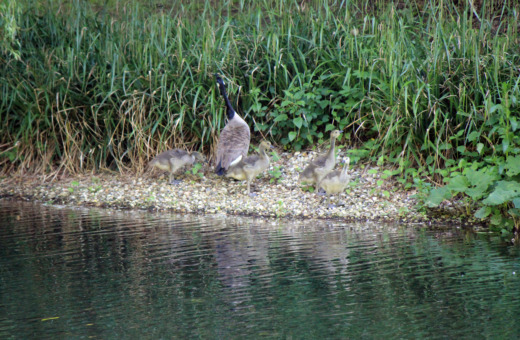 Wild goose family at riverside