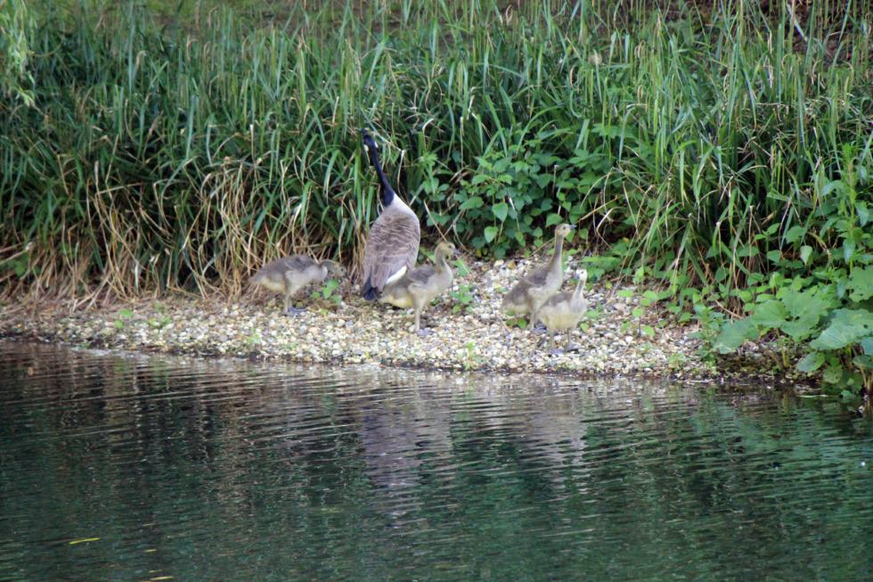 Wild goose family at riverside