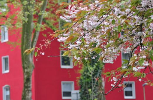 Blooming cherry-tree in Holsterhausen